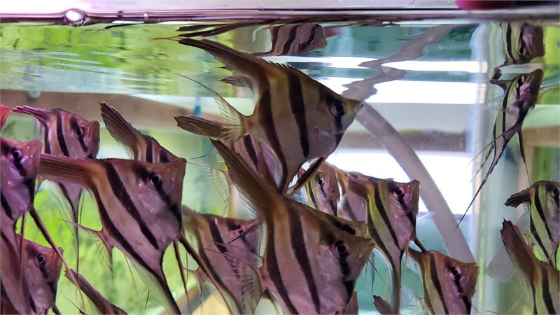 Tank Raised Orinoco Angelfish Spawning